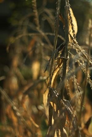 dead corn